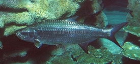 Klik for at forstørre - Tarpon (Megalops atlanticus)
