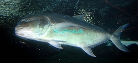 Klik for at forstørre - Giant Trevally (Caranx ignobilis)